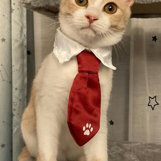 調布市☆ミルクティー色の茶白男子☆子猫です