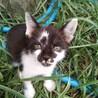 ダルメシアン風の人懐っこい子猫です。