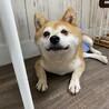 コウ★おとなしい性格の小さめ柴犬