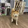 コウ★おとなしい性格の小さめ柴犬 サムネイル2