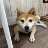 コウ★おとなしい性格の小さめ柴犬 サムネイル4