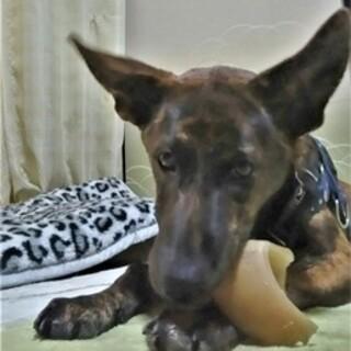 賢くて飼いやすいと、預かりさん大絶賛の温厚な若犬