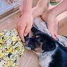 人懐こくて賢い、とても飼いやすい生後2ヶ月の子犬