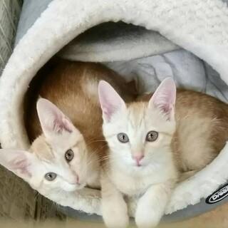 可愛い茶トラの兄弟猫★