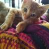 人懐っこい元気な子猫。茶トラ。生後約2ヶ月です。