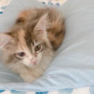 【まるもん】ふわふわ長毛三毛トラ子猫