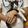 ★金太郎★子猫2ヶ月半★ハチワレ★オス甘えん坊