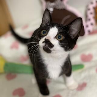 ★まち★子猫2ヶ月半★ハチワレ★メス甘えん坊