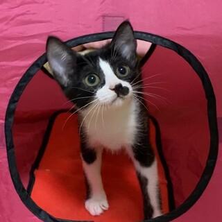 ★小太郎★子猫2ヶ月半★ハチワレ★オス甘えん坊