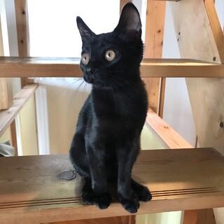 甘えん坊の黒猫の女の子(1匹飼い向き)
