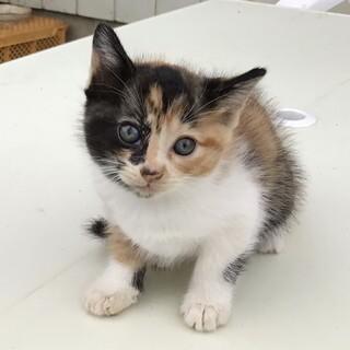 三毛猫の子猫 8/1生まれです