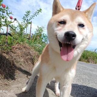 ひなたちゃん〜穏やかな柴犬〜