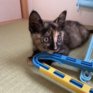 サビ猫 2か月の優しい女の子