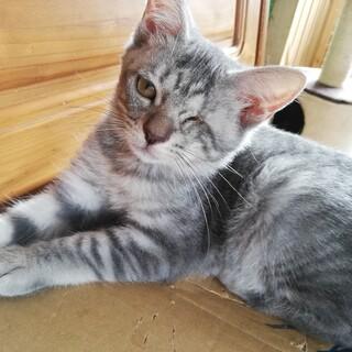 【保護猫】ミモザ♀子猫・サバトラ