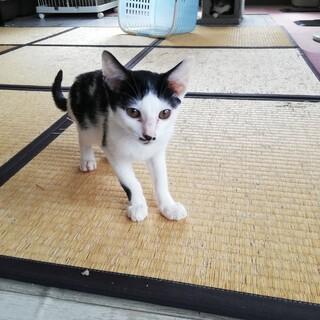 【保護猫】きずな♀子猫・ハチワレ