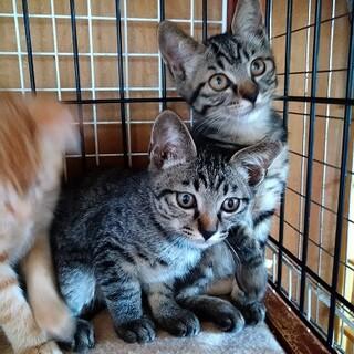 アイラインくっきりきれいなサバトラ子猫