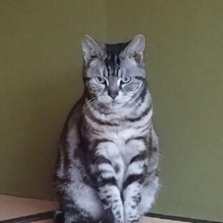 人懐っこいアメリカンショートヘア成猫メス