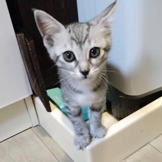 生後3ヶ月サバトラ子猫☆