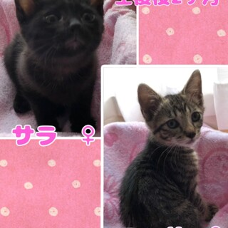 1匹可 黒猫 キジトラ 女の子