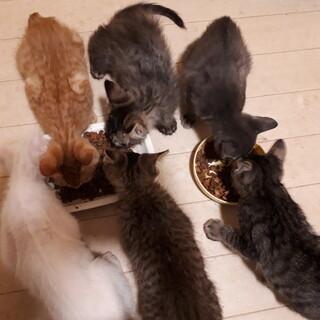 キジ・グレー・茶トラ子猫 男の子5匹!