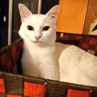 白猫 1歳 せんちゃん