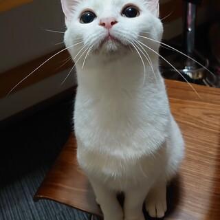 白猫 1歳 ちひろちゃん 女のコ