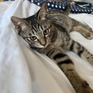 【かんぷう】丸々もこもこしたキジトラ少年猫