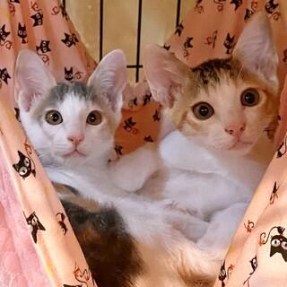【お見合い随時】甘えん坊な美猫ミケ三毛シスターズ