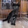 胸にハートマークのある黒猫セレちゃん生後約4カ月