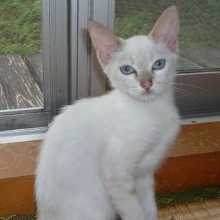 目がブルーでシャム系の子猫