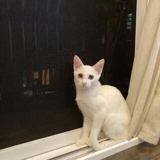 真っ白な、美人猫ちゃん♡