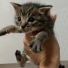キジトラ♂子猫の里親募集