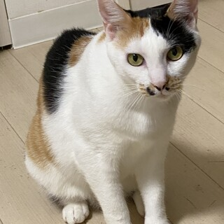 ザ・三毛猫な美人でツンデレちゃんです!