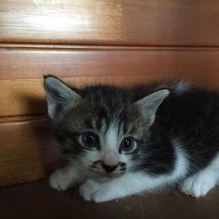 生後3週間 ふわふわぬいぐるみ子猫