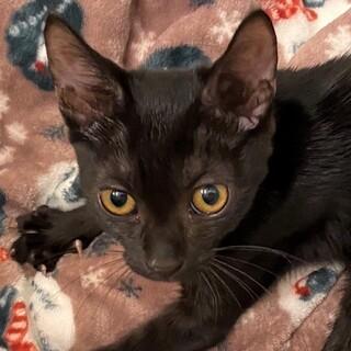 とっても人懐こいスリゴロの黒猫☆ひじきちゃん