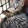 約2ヶ月のトラ猫ちゃん、男の子です。
