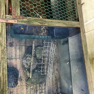 ミドリ亀3匹(30cm位)の里親さんを募集