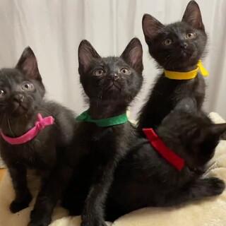 黒猫の子猫 とっても飼いやすい甘えん坊
