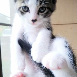 生後1ヶ月半の子猫6兄妹♡キジ白くん