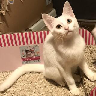 【しらす丼】まだ怖がりだけど甘えたな白子猫