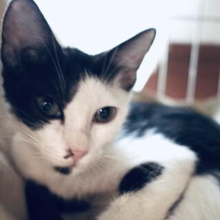 【海鮮丼】ぐいぐい甘えてくるスリゴロ黒白子猫