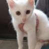 ※10/4譲渡会開催!白猫一族『ポロン』