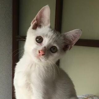真っ白猫☆甘えん坊男子 白竜くん