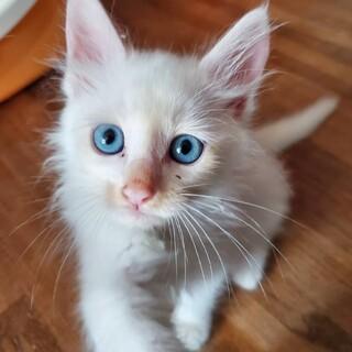 長毛ホワイトブルーオメメの美猫ちゃん