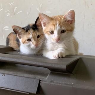 生後半年くらいの兄妹猫ちゃん