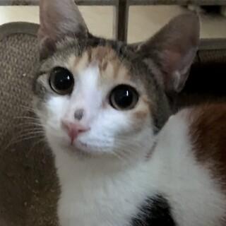 甘えん坊の三毛猫梅香