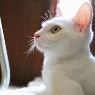 ゆきみ♡きれいな白猫さんは好きですか?