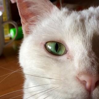 白い美猫姉妹9歳