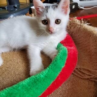 ホワイトブラックてんてん子猫