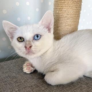 白猫ちゃんの家族になってあげて下さい